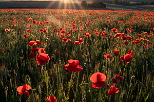 Field of Poppies (Papaver rhoeas) in flower at sunset, France. June.  -  Fabrice Cahez