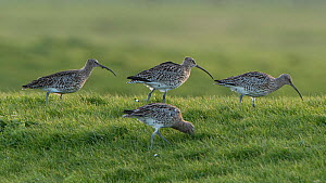 Eurasian curlew (Numenius arquata) group of four foraging in grassland. Vendee, France, March.  -  Fabrice Cahez
