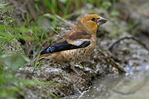 Hawfinch (Coccothraustes coccothraustes) juvenile, France, July.  -  Fabrice Cahez