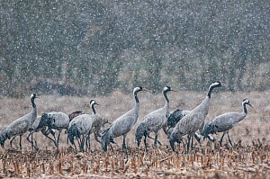 Common crane (Grus grus) flock feeding in field in snow, Champagne, France, February.  -  Fabrice Cahez