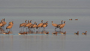 Common crane (Grus grus) and Greylag goose (Anser anser) Lac du Der, Champagne, France, February  -  Fabrice Cahez