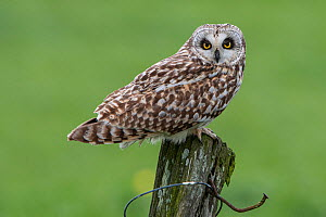 Short-eared owl (Asio flammeus) perched on post, Vendee, France, March.  -  Fabrice Cahez