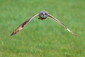 Short-eared owl (Asio flammeus) in flight, Vendee, France, March.  -  Fabrice Cahez