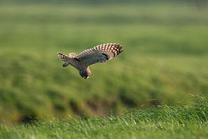Short-eared owl (Asio flammeus) in flight, looking down to ground for prey, Vendee, France, March.  -  Fabrice Cahez
