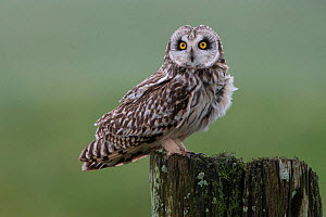 Short-eared owl (Asio flammeus) Vendee, France, March.  -  Fabrice Cahez