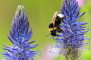 Bumblebee (Bombus) on Rampion flower (Phyteuma), France,May.  -  Fabrice Cahez
