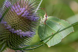 Common brimstone butterfly (Gonopteryx rhamni) on Teasel flower (Dipsacus fullonum) France, July.  -  Fabrice Cahez