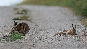 Brown hare (Lepus europaeus) two on dirt road, with one resting, Vosges, France, July.  -  Fabrice Cahez