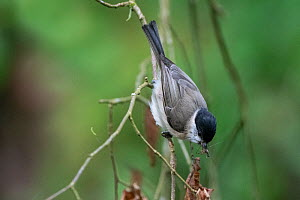 Marsh tit (Poecile palustris) with insect prey, France, May.  -  Fabrice Cahez