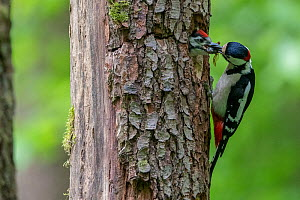 Great Spotted Woodpecker (Dendrocopos major) feeding mate at nest in tree trunk, France  -  Fabrice Cahez