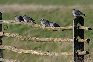 Common wood pigeon (Columba palumbus) group perched on fence, France, March.  -  Fabrice Cahez