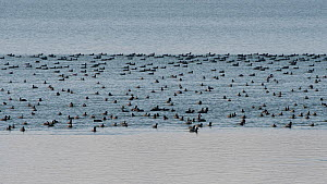 Flock of Coots (Fulica atra) in winter, Lac du Der, France, January.  -  Fabrice Cahez