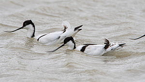 Pied avocet (Recurvirostra avosetta) two on water, Vendee, France, March.  -  Fabrice Cahez