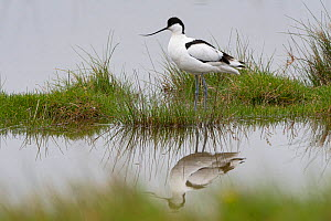 Pied avocet (Recurvirostra avosetta) reflected in water, Vendee, France, March.  -  Fabrice Cahez
