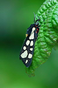 Cream-spot tiger (Arctia villica) Lac du Salagou, South of France, May  -  Robert  Thompson