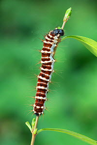 Angled Batwing moth (Holocernia angulata) larva, Obout Village Cameroon. Controlled conditions  -  Robert  Thompson