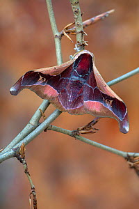 Angled Batwing moth (Holocernia angulata) Obout Village Cameroon, April Controlled conditions  -  Robert  Thompson