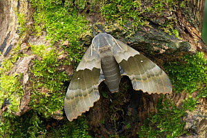 Modest sphinx moth (Pachysphinx modesta) Isle of Marinduque, Philipines, Controlled conditions  -  Robert  Thompson