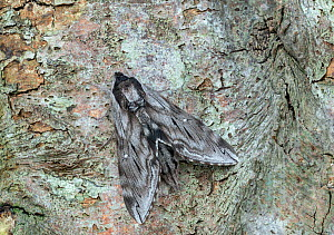 Northern apple sphinx moth (Sphinx poecila) Lac-Drolet province Quebec, Canada, March  -  Robert  Thompson