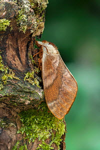 Moth (Pachytrina honrathii) Obout Village Cameroon Africa, May. Controlled conditions  -  Robert  Thompson