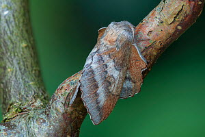 Moth (Phyllodesma japonica) Saint Petersburg, Russia, Controlled conditions  -  Robert  Thompson