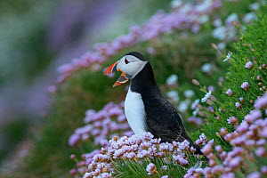 Puffin (Fratercula arctica) among thrift, Great Salteee Island, Co. Wexford, Ireland, May  -  Robert  Thompson