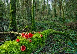Scarlet elf cup fungus (Sarcoscypha coccinea) on fallen log in woodland, Peatlands Park Co. Armagh, Ireland, February  -  Robert  Thompson