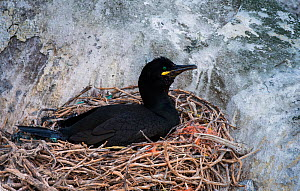Shag (Phalacrocorax aristotelis) on nest, with netting in amongst the nest material, Great Salteee Island, Co. Wexford, Ireland, May  -  Robert  Thompson