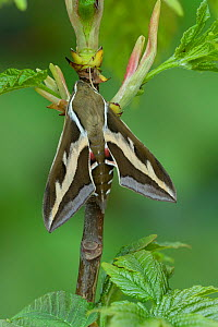 Bedstraw hawk-moth (Hyles gallii) Wallis, Switzerland, April. Controlled conditions, April. Controlled conditions  -  Robert  Thompson