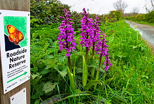 Early purple orchid (Orchis mascula) growing on roadside verge along lane, with Roadside Nature Reserve sign, Norfolk, England, UK. April.  -  Ernie Janes