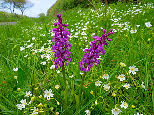 Early purple orchid (Orchis mascula)and greater stitchwort (Stellaria holostea) Norfolk, England, UK, May.  -  Ernie Janes