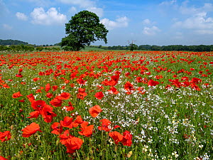 RF - Corn poppies (Papaver rhoeas) growing in failed bean crop, Norfolk , England, UK, June.(This image may be licensed either as rights managed or royalty free.)  -  Ernie Janes