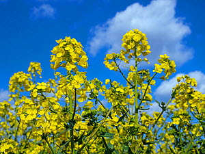 RF - Rapeseed (Brassica napus subsp. napus) in flower, England, UK, April. (This image may be licensed either as rights managed or royalty free.)  -  Ernie Janes