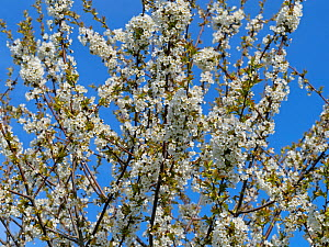 RF - Wild cherry (Prunus avium) in flower, Norfolk, England, UK, March. (This image may be licensed either as rights managed or royalty free.)  -  Ernie Janes