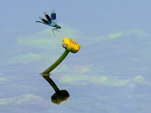 RF - Banded demoiselle (Calopteryx splendens) male in flight approaching yellow water lily flower, River Wensum. Norfolk, England, UK. June. (This image may be licensed either as rights managed or roy...  -  Ernie Janes