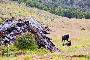 Pile of tree trunks in grassland alongside Cattle. Area formerly a native Beech (Nothofagus sp) and Pine forest deforested to make way for ranching. Between Puerto Natales and Seno Obstruccion, Magall...  -  Ashley Cooper