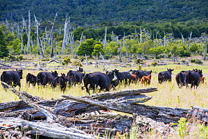 Cattle in grassland, formerly a native Beech (Nothofagus sp) and Pine forest deforested to make way for ranching. Magallanes, Patagonia, Chile. January 2020.  -  Ashley Cooper