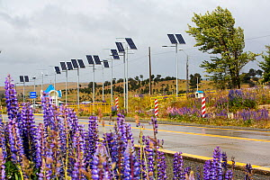 Street lights on roadside powered by photovoltaic panels, Lupin (Lupinus sp) flowering in foreground. Between Punta Arenas and Puerto Natales, Magallanes, Chile. January 2020.  -  Ashley Cooper
