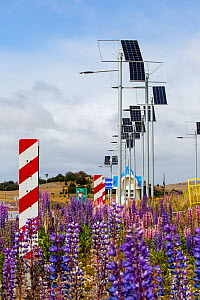 Lupin (Lupinus sp) flowering beneath photovoltaic panels on roadside, between Punta Arenas and Puerto Natales, Magallanes, Chile. January 2020.  -  Ashley Cooper