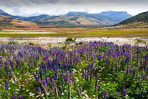 Lupin (Lupinus sp) flowering in profusion alongside Daisies. In valley south of Torres del Paine National Park, Patagonia, Chile. January 2020.  -  Ashley Cooper