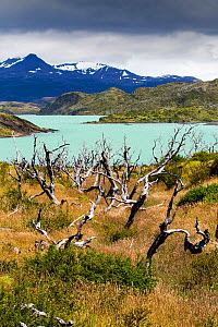 Woodland destroyed by forest fire, Lake Pehoe and mountains in background. Torres del Paine National Park, Patagonia, Chile. January 2020.  -  Ashley Cooper