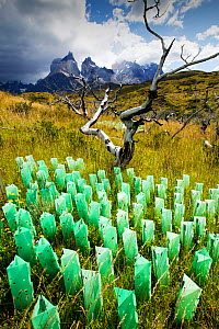 Reforestation of an area destroyed by bush fires, tree guards protecting saplings, mountains in background. Torres del Paine National Park, Patagonia, Chile. January 2020.  -  Ashley Cooper