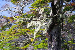 Lichens hanging from branches in native Beech (Nothofagus sp) and Pine forest. Between Puerto Natales and Seno Obstruccion, Magallanes, Chile. January.  -  Ashley Cooper