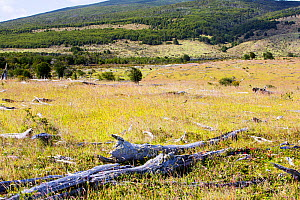 Pasture land, formerly native Beech (Nothofagus sp) and Pine forest cleared for cattle ranching, remaining forest in background. Between Puerto Natales and Seno Obstruccion, Magallanes, Chile. January...  -  Ashley Cooper