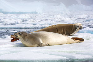Crabeater seal (Lobodon carcinophaga), two hauled out on sea ice. Near Yalour Islands, Wilhelm Archipelago, Antarctica. January 2020.  -  Ashley Cooper