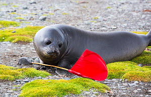 Southern elephant seal (Mirounga leonina) pup on shore, playing with flag planted to mark safe route for tourists. Elephant Point, Livingston Island, South Shetland Islands, Antarctica. January 2020.  -  Ashley Cooper