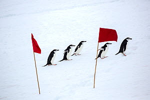 Chinstrap penguin (Pygoscelis antarcticus) group walking across snow, between red flags marking a route for tourists from expedition ship to follow. Palava Point, Two Hummock Island, Palmer Archipelag...  -  Ashley Cooper