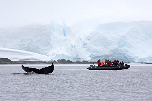 Humpback whale (Megaptera novaeangliae) diving with fluke at surface, tourists from cruise ship watching from zodiac, glacier in background. Foyn Harbour, Wilhelmina Bay, Antarctic Peninsula, Antarcti...  -  Ashley Cooper