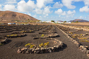 Traditional sheltered vineyard with rock walls to protect vines from strong winds, growing on black volcanic soil. Town and mountains in background. Lanzarote, Canary Islands, Spain. November 2019.  -  Ashley Cooper