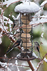 Long tailed tit (Aegithalos caudatus) flock feeding on fat balls in garden bird feeder, in snow. Ambleside, Lake District National Park, England, UK. February 2020  -  Ashley Cooper